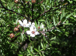 Manuka Tree Leaves and Flowers (image source)